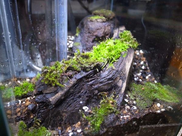 苔のアパート…小型水槽で始める苔テラリウム。何苔だかわからないのも同居中。