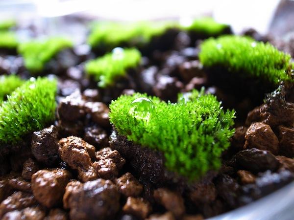 苔テラリウム用に苔を栽培しています。順調に育ってきてる!