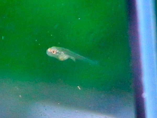 水槽をリセットしようとして水をすくってみると・・・なんとゴールデンテトラの稚魚がいた!
