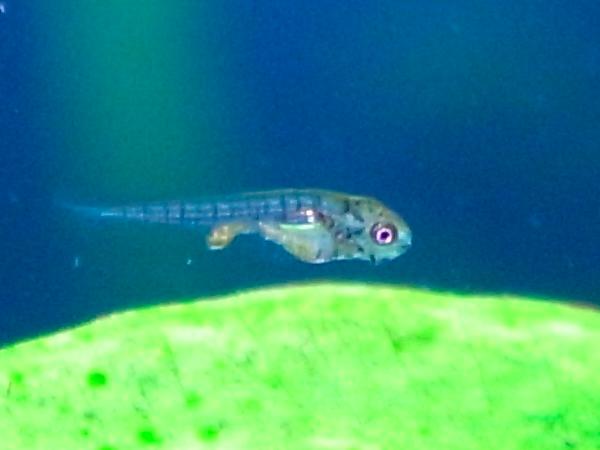ゴールデンテトラの稚魚(4日目)あまりサイズは変わらず。