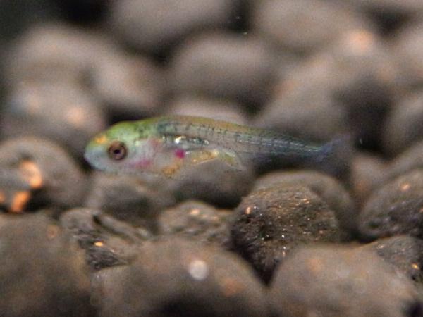 ゴールデンテトラの稚魚(7日目?)模様も徐々に見えるようになってきた。