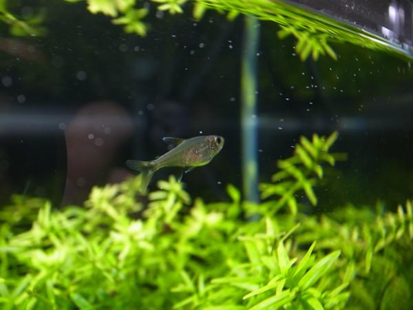 二酸化炭素を食べる熱帯魚?