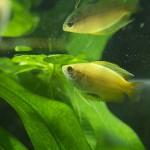 【産卵4日目】グラミーの稚魚が全部消えた・・・