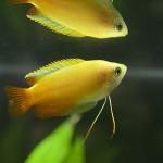 【GHDグラミー繁殖】GHDグラミーが出産。他種との混泳でも無事に産卵しました