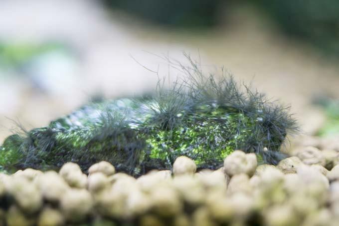 石に生えたヒゲ状コケ