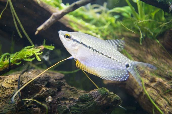 パールグラミーをお迎え。安い、大きい、美しい、初心者オススメの美魚!