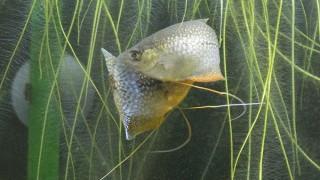 【パールグラミー繁殖】大迫力!パールグラミーの産卵記録とタッパー飼育