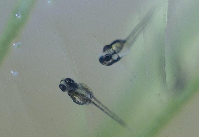 【繁殖記録3】本水槽と飼育容器(タッパー)の稚魚生育度について