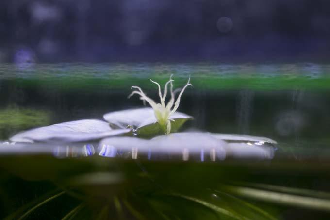 アマゾンフロッグピットの花