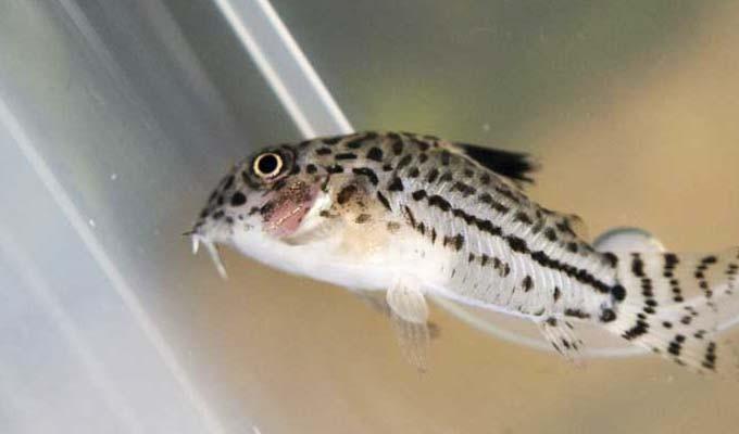 コリドラスがひっくり返ったりキリモミで泳いだり・・・何が原因?