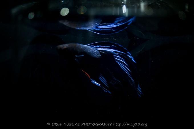 ベタ・ベールテール、小瓶に閉じ込められた強く美しい熱帯魚
