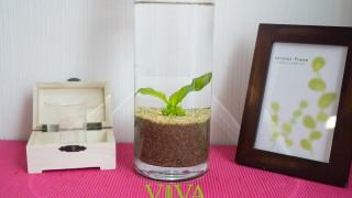 実践!アマゾンソードはフラワーベース(花瓶)で栽培できる?