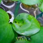 【ベタ繁殖】ベタトラディショナル同士のペアによる繁殖記録3