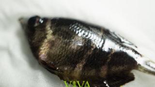 【チョコレートグラミー繁殖#3】チョコグラ突然死!病気か水質か衰弱か