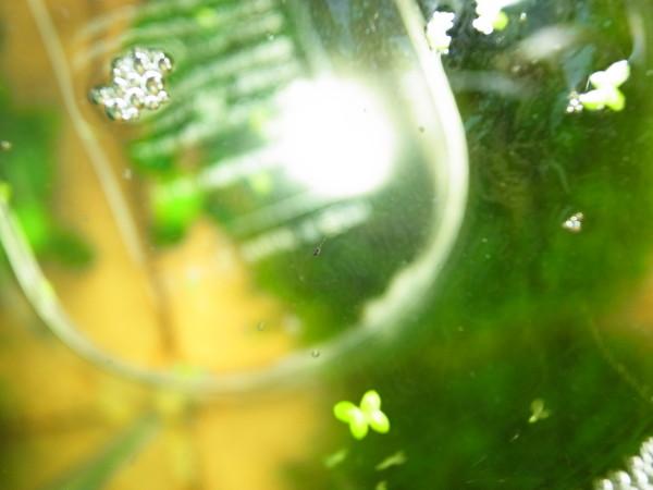 ゴールデンハニードワーフグラミーの稚魚