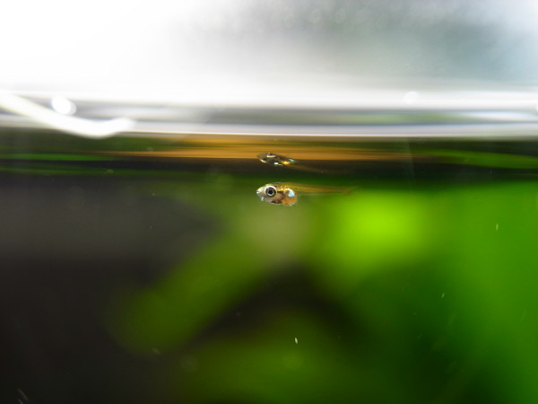 本水槽で育っているゴールデンハニードワーフグラミーの稚魚