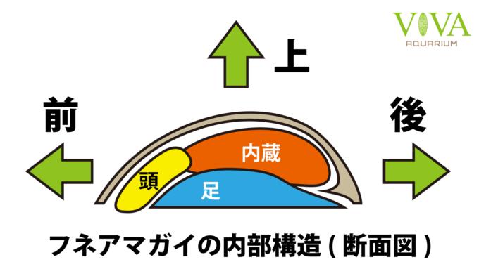 フネアマガイの内部構造(断面図)